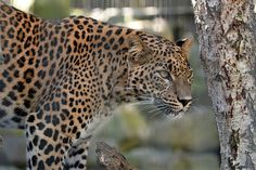 Sri Lankan Leopard | Flickr - Photo Sharing!