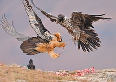 Credit: Mitchell Krog/National Geographic An adult and a juvenile bearded vulture - a threatened species - quarrel over territory. This picture was taken at Giants Castle in the Drakensberg region of South Africa