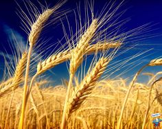 In the middle of Sweden Yellow Photography, Nature Photography, Dear World, Fall Clip Art, Let's Make Art, Golden Background, Fields Of Gold, Wheat Fields, Grass Field