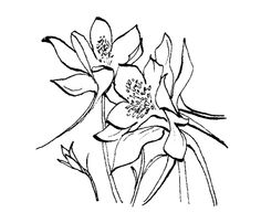 Gallery For > Columbine Flower Line Drawing
