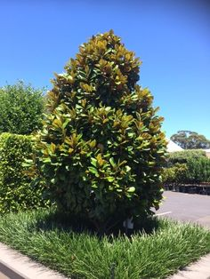 Magnolia grandiflora 'Teddy Bear', this is more of a tree and can be pruned up the stem to allow room for the foot path