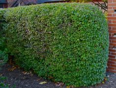 considering planting a hedge, Bellows advises avoiding privet unless you have at least a half day of full sun. Privet planted in shady spots will not be robust. Use ilex or holly instead and, whatever plant you use, plan on a budget for yearly pruning. Miniature Pigs, Plant Design, Topiary, Hedges, Organic Gardening, Stepping Stones, At Least, Exterior, Canning