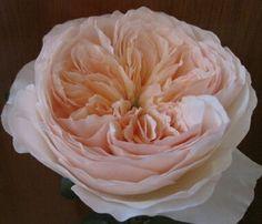 Stunning Salmanazar garden rose coral pink!