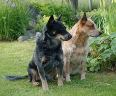 australian working dogs | alert and sympathetic Australian Cattle Dogs (one of the Working Dogs ...