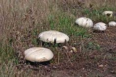 36 Types Of Wild Edible Mushrooms