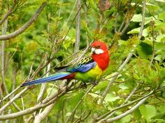 Eastern rosella. Adult male perching. Birkenhead, Auckland, October 2009. Image © Josie Galbraith by Josie Galbraith