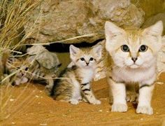 Sand cats were thought to be extinct are making a com back born in Israel