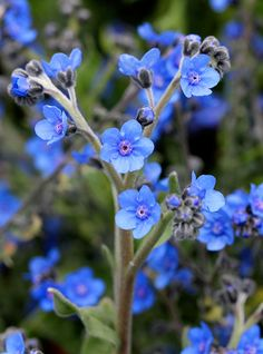 CYnoglossum amabile 'Azul'
