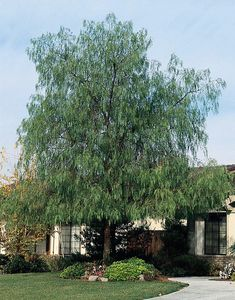 Schinus molle (California Pepper Tree) Water Use: Low, drought tolerant once established Size: – x – Sun: Full sun CA Native: No Deer Resistant: Rarely damaged Wildlife Value: Bird habitat California Backyard, California Native Plants, Landscaping Trees, Succulent Landscaping, Monrovia California, Trees For Front Yard, Front Yards, Shade Shrubs, Pepper Tree