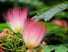 Mimosa Flower ~ Sweet Southern blue