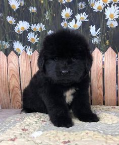 Gentle Tenderheart Giants Newfoundland breeder,Reputable Quality Newfies puppies in Colorado Brown Newfoundland Dog, Newfoundland Puppies, Super Cute Dogs, Super Cute Animals, Dog Heaven, Cute Animal Drawings Kawaii, Cute Dog Pictures, Dog Memes, Baby Dogs