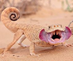 Phrynocephalus mystaceus Turan Lizaer... it looks like a mix between a Bearded Dragon, a Chameleon, and that other lizard (whatchamacallit)