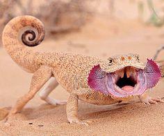 Phrynocephalus mystaceus Turan Lizaer