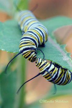 Kissing Caterpillars