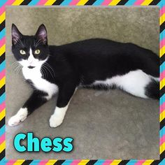 Meet Chess, an adoptable Domestic Short Hair-black and white looking for a forever home. If you're looking for a new pet to adopt or want information on how to get involved with adoptable pets, Petfinder.com is a great resource.
