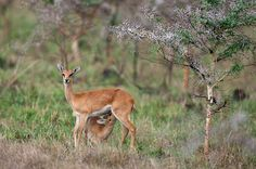 A young Oribi suckles its mother in the Lambwe Valley of Ruma National Park. Kangaroo, National Parks, Stock Photos, Pictures, Animals, Image, Photos, Animales, Animaux