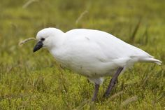 Black-faced Sheathbill (Chionis minor) at American Bay on Possession Island in the Crozet Archipelago in 2011 March-18.jpg (1280×853)