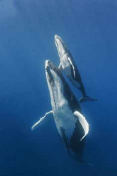 A humpback whale swims with its calf near Reunion Island in the Indian Ocean (Photograph: Yann Oulia/Barcroft India) Beautiful Sea Creatures, Animals Beautiful, Orcas, Humpback Whale Tattoo, Amazing Beasts, Whale Drawing, Rare Animals, Strange Animals, Watercolor Whale