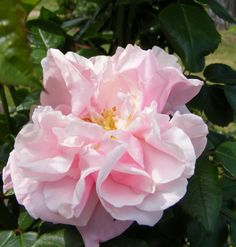 'Gerbe Rose', 1904