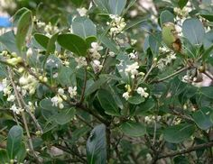 Osmanthus burkwoodii:winterharde groenblijvende heester
