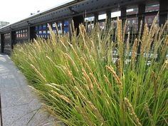 Autumn moor grass (Sesleria autumnalis) forms upright clumps that lend an almost formal element to the High Line's naturalistic aesthetic.
