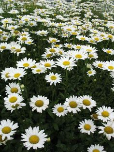 "Becky Daisy, or Shasta Daisy is a showy, profusely blooming, easily cultivated perennial which flowers from July to September, growing 2 -3' tall with flower heads 3-4"" in diameter. http://www.missouribotanicalgarden.org/PlantFinder/PlantFinderDetails.aspx?kempercode=r550#AllImages #Daisies"