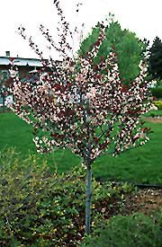 Purpleleaf Sandcherry (tree form) (Prunus x cistena '(tree form)') at Dundee Nursery Flowering Trees, Trees And Shrubs, Trees To Plant, Small Pink Flowers, Dwarf Trees, Full Size Photo, Prunus, Water Features, Curb Appeal