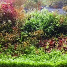693 отметок «Нравится», 13 комментариев — @shrimpery в Instagram: «Greenery #natureaquarium #plantedtank #plantedaquarium #aquascape #aquascaping #fishtank #aquarium…»