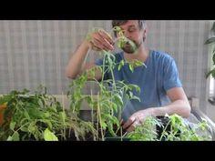 Halshuggning av tomat - YouTube