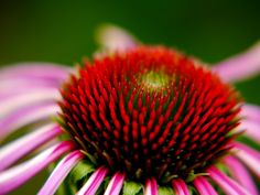 Un incontournable à avoir sous la main dans les prochains mois! Echinacea - This herb is used as a natural antibiotic and immune system stimulator, helping to build up resistance.