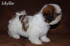 Idylle, chiot Shih-Tzu femelle de 3 mois. Voire la jolie vidéo d'Idylle frétillante en cliquant sur la photo ! Crédit photo : Bernadette Capparos