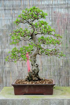 Korean Hornbeam Bonsai Tree (Carpinus Turczaninowii) in a … | Flickr