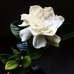 Coco Rose Design (Floral Designer): Gardenia