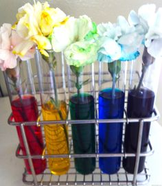 rainbow carnations- for teaching how water travels through a plant!