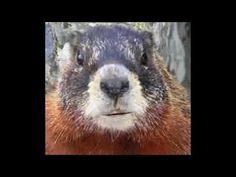 Marmotte Chiante - Souhait d'anniversaire humoristique - Ep.02  Un autre souhait original a envoyer a un ami/collègue/famille.  #maitrefun #marmotte #chiante #marmottechiante #vulgaire #humour #drole #comique Minions, Animals, Birthday Humorous, Retirement, Animais, Animales, The Minions, Animaux, Animal