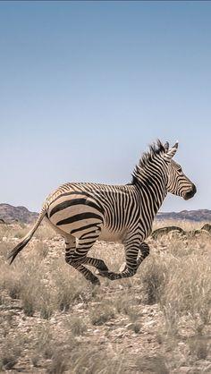 Zebra in Namib Desert (Angola Image Bank™ Nature Animals, Animals And Pets, Cute Animals, Zebras, Beautiful Creatures, Animals Beautiful, Mountain Zebra, Namib Desert, Mundo Animal