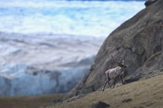 A caribou walks in the foreground of a glacier, on July 12, 2013 near Kangerlussuaq, Greenland.