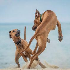 Ridgeback ballet. Like regular ballet, but more face biting. ____________________________ #rhodesianridgeback #projectrr #ridgebacksofinstagram #dog #dogs #hound #dogsofinstagram #dogoftheday #excellent_dogs #petstagram #primepet #chicago #pets #petsofinstagram #pets_perfection #puppy #ilovemydog #bestwoof #houndandlife #akc