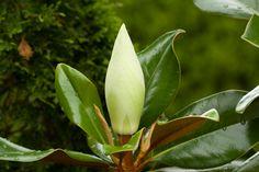 Magnolia grandiflora - Wikipedia, the free encyclopedia