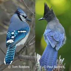 blue jay and a stellar jay - raucous birds