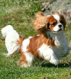 Cavaliers are so graceful and beautiful as they race across the yawn to fetch a ball.