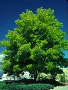 Honey Locust Tree has tiny leaves that disappear quickly after they fall. This tree grows large and makes a great big shade tree.