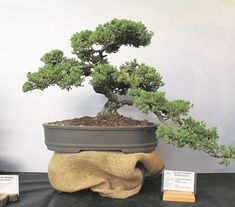 This Juniper bonsai tree started growing during 1995 and is trained by Loretta and Lionel Owen.                Photo: supplied
