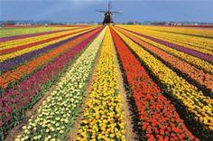 To Do: Visit Holland During Tulip Season