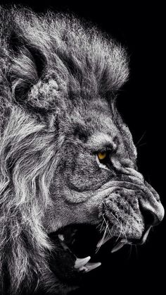 "quietobservation: "" Dominance in a face. That is the Lion to me. "" The value of a lion…"