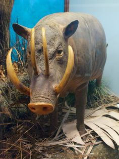 Babirusa - Endangered Animal