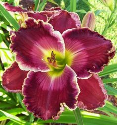 the Lily Auction Very Beautiful Flowers, Exotic Flowers, Beautiful Gardens, Purple Flowers, Daylily Garden, Amaryllis, Peonies Garden, Flora, Planting Flowers