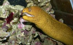 Xanthareel, a yellow eel * animals that start with X *