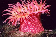 pink and white sea anemone - Google Search