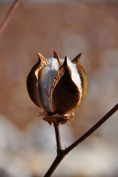 I pinned this picture as I thought I might use it to draw as I hadn't done any cotton seed pods